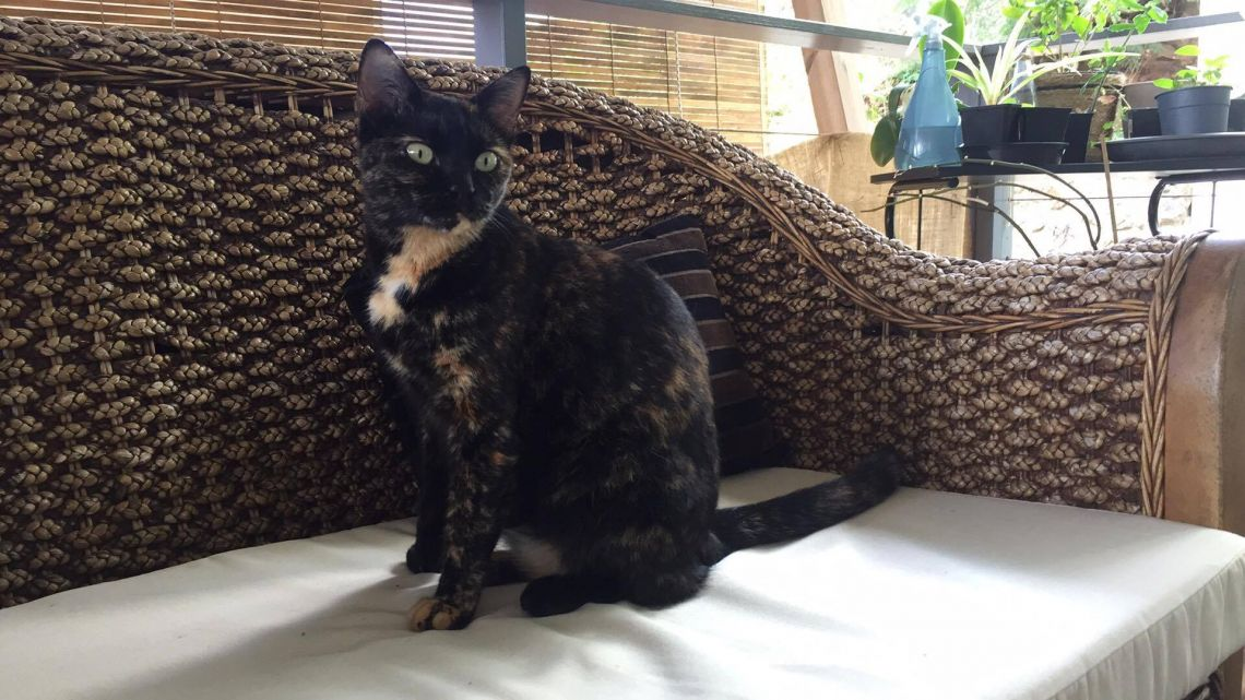 трехцветная черная кошка приносит счастье и богатсво, приметы и суеверия - магические свойства