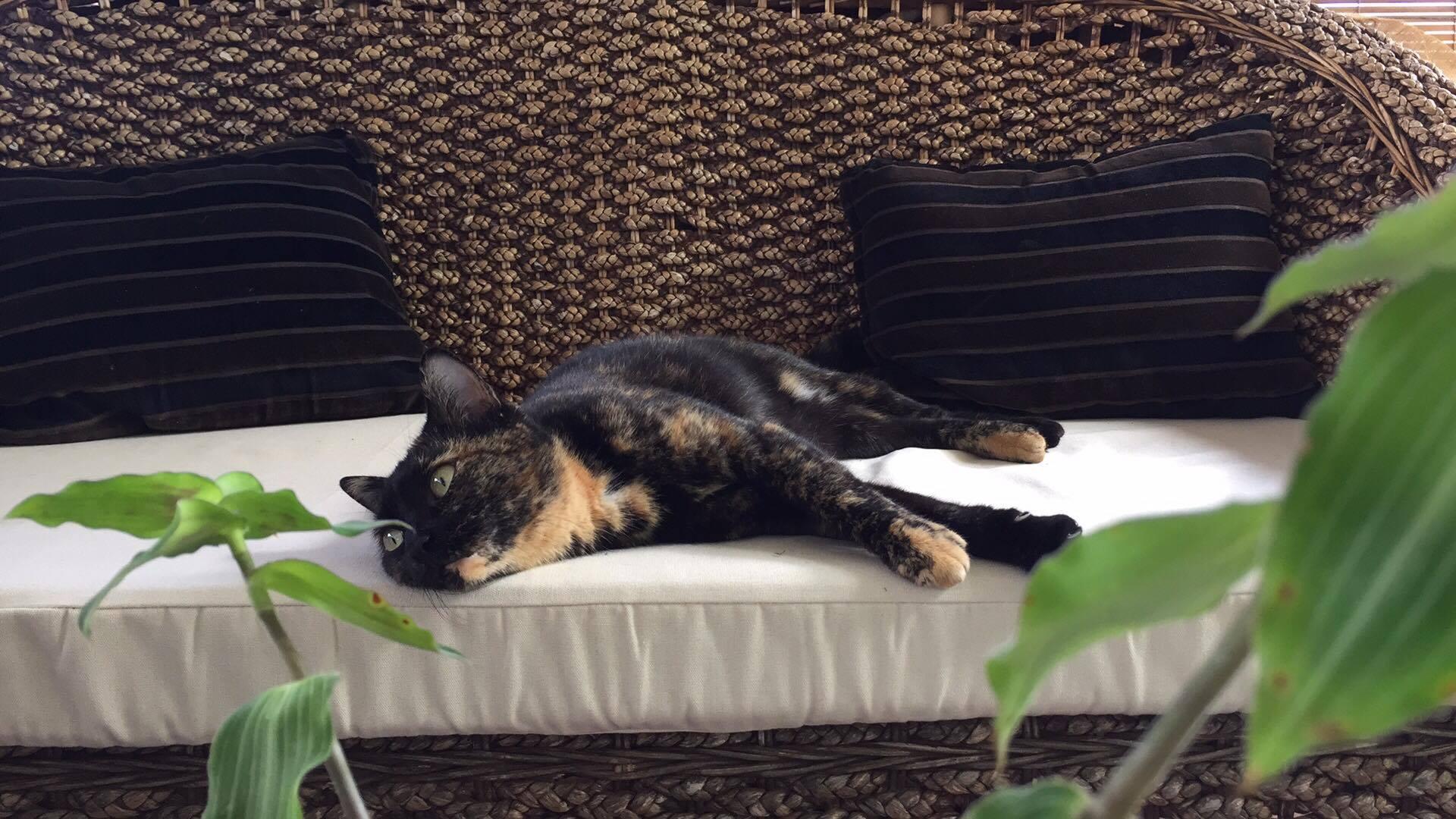 трехцветная кошка в доме приносит счастье его жителям, к чему снится